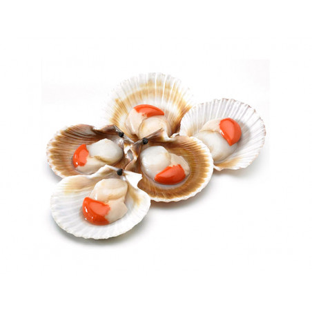 Vieira con concha y coral limpio